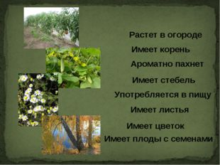 Имеет корень Растет в огороде Ароматно пахнет Имеет стебель Употребляется в