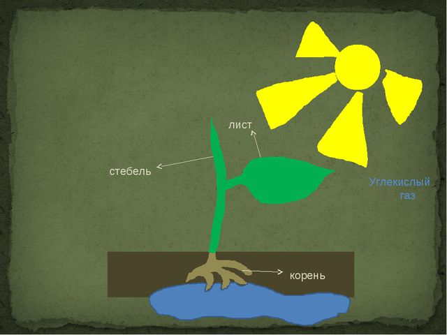 корень стебель лист Углекислый газ