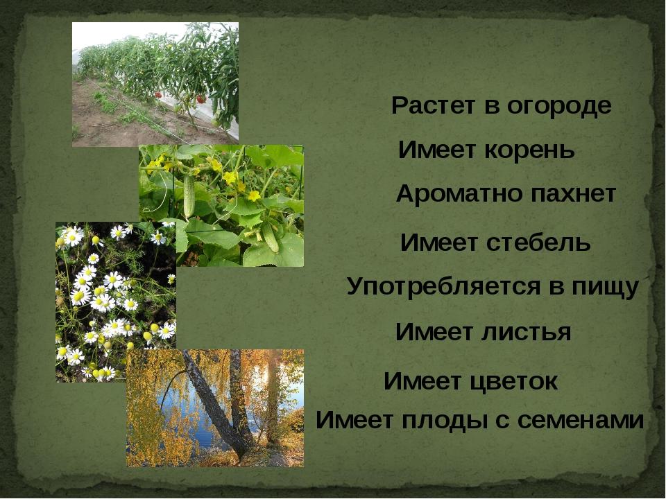 Имеет корень Растет в огороде Ароматно пахнет Имеет стебель Употребляется в...