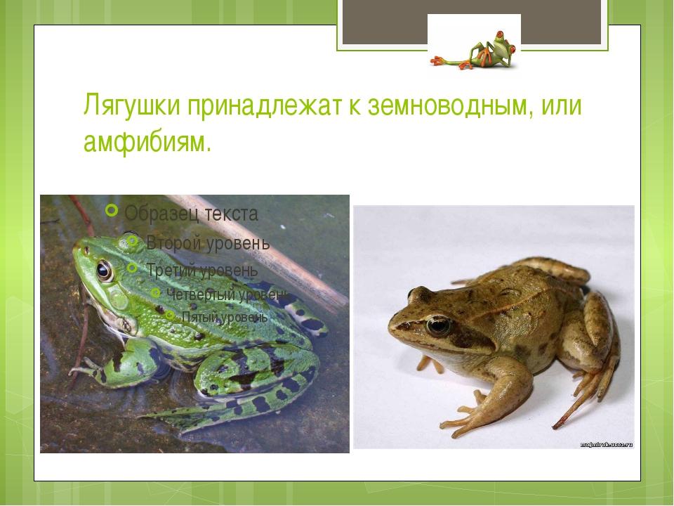 Лягушки принадлежат к земноводным, или амфибиям.