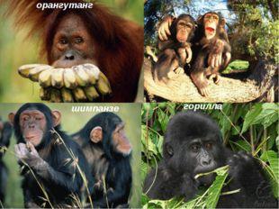 орангутанг шимпанзе горилла