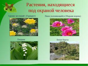 Растения, находящиеся под охраной человека Адонис весенний (Горицвет) Ландыш