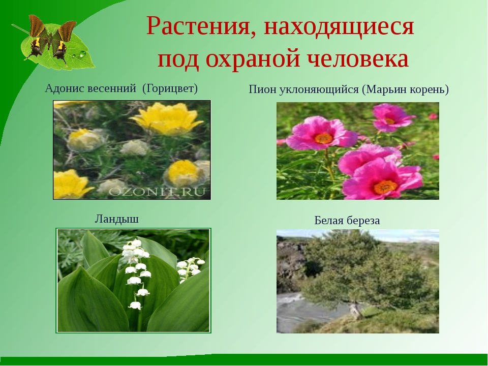 Растения, находящиеся под охраной человека Адонис весенний (Горицвет) Ландыш...