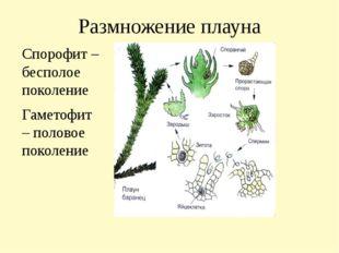 Размножение плауна Спорофит – бесполое поколение Гаметофит – половое поколение