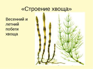 «Строение хвоща» Весенний и летний побеги хвоща