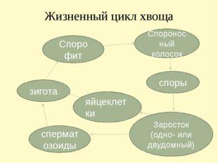 Жизненный цикл хвоща зигота Споро фит споры Спороносный колосок сперматозоиды
