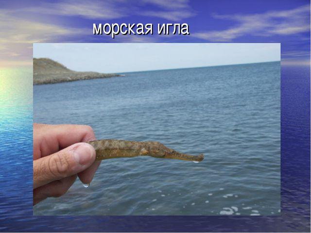морская игла