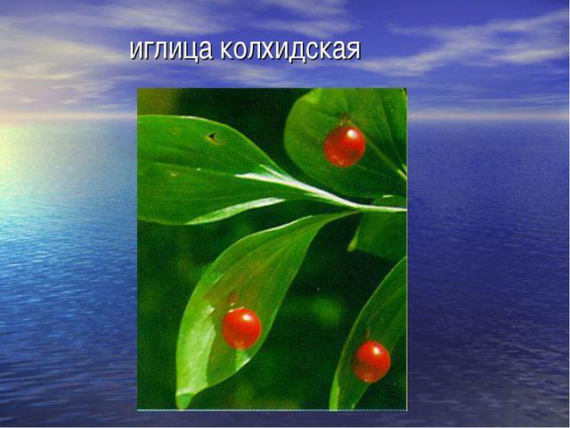 иглица колхидская