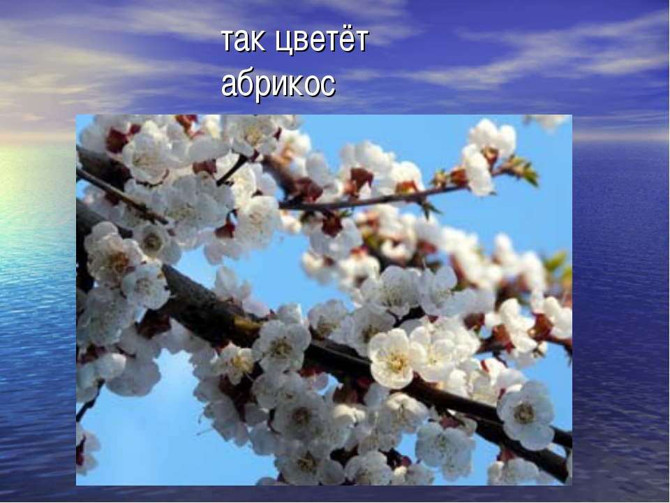 так цветёт абрикос