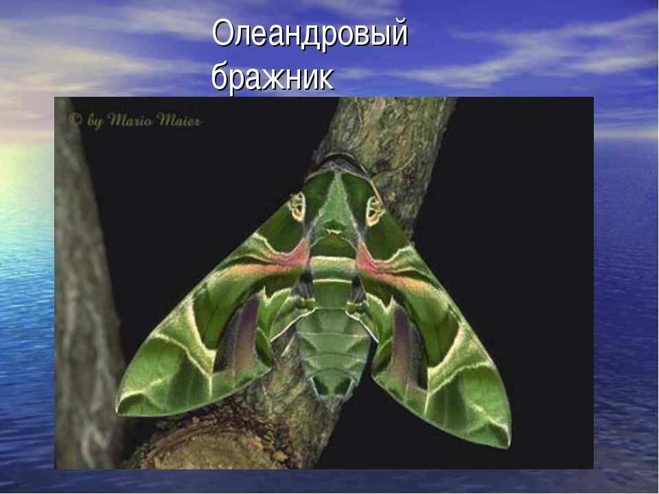 Олеандровый бражник