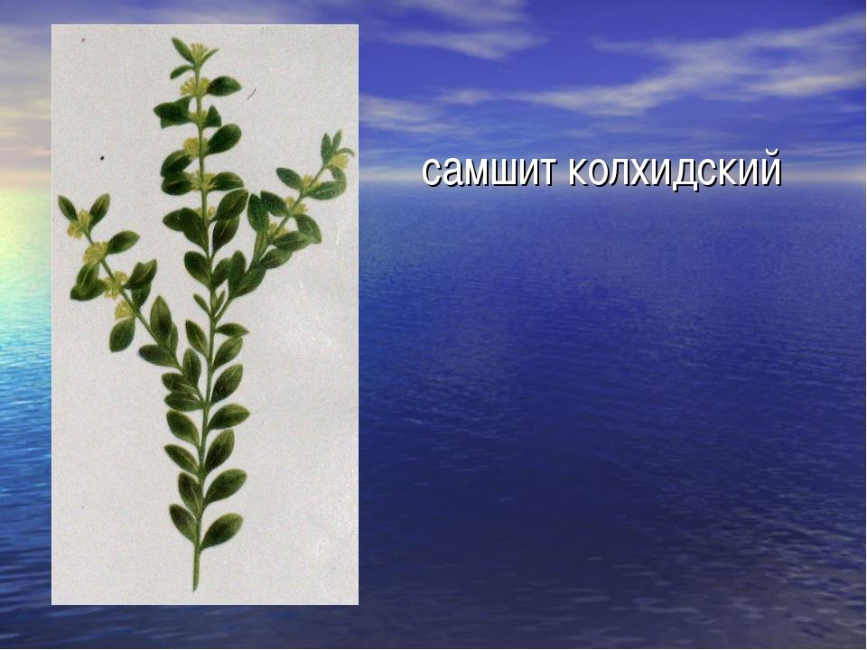 самшит колхидский