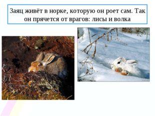 Заяц живёт в норке, которую он роет сам. Так он прячется от врагов: лисы и во