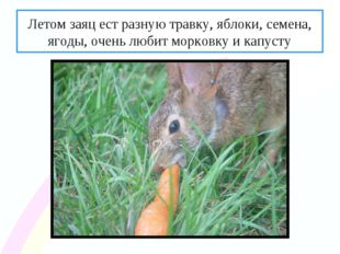 Летом заяц ест разную травку, яблоки, семена, ягоды, очень любит морковку и к