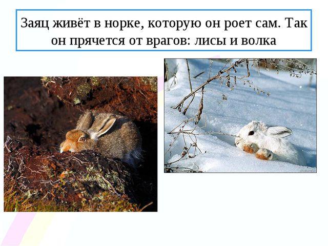 Заяц живёт в норке, которую он роет сам. Так он прячется от врагов: лисы и во...