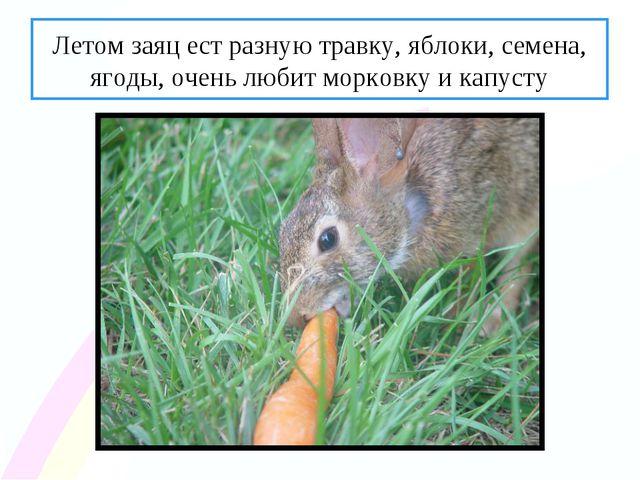 Летом заяц ест разную травку, яблоки, семена, ягоды, очень любит морковку и к...