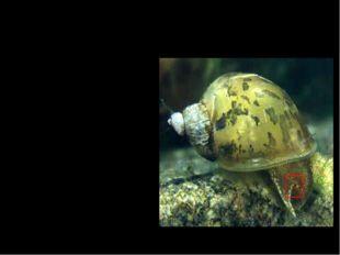 Прудовик Широко распространен прудовик. В медленно текучих и стоячих водах б