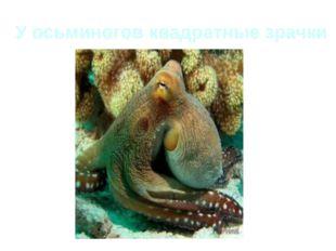 У осьминогов квадратные зрачки
