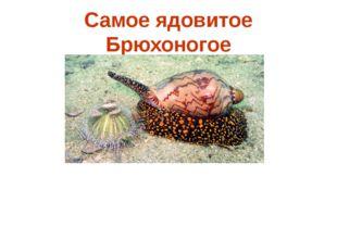 Самое ядовитое Брюхоногое Улитки рода Конус при укусе впрыскивают своим жерт
