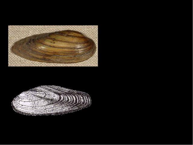 Перловица и беззубка Оба моллюска живут на мелководье. Внутренняя поверхность...