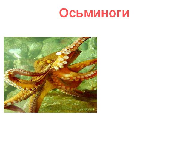 Осьминоги Осьминоги наслаждаются разнообразием красок планеты. У них цветно...