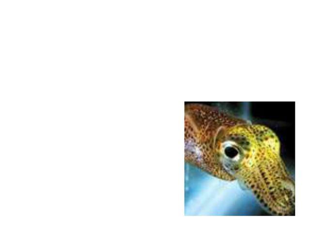 Светящийся кальмар обладает уникальными отражающими пластинками, образующими...