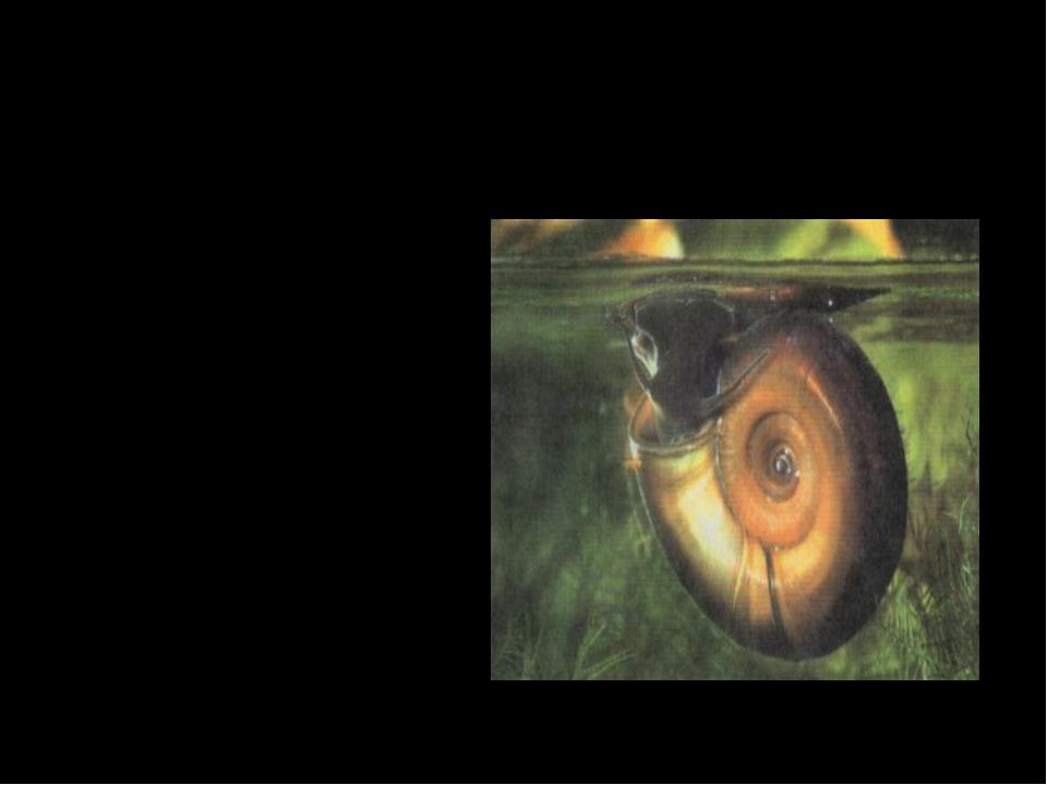 Катушка имеет плоскую раковину, завитую в одной плоскости. Многочисленные мел...
