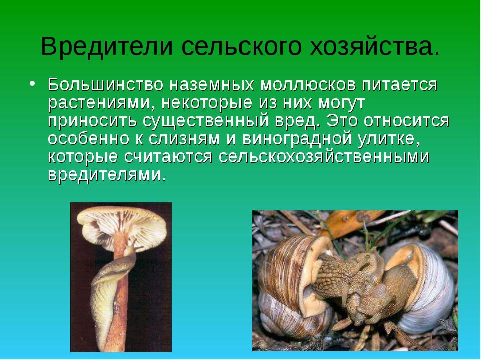 Вредители сельского хозяйства. Большинство наземных моллюсков питается растен...