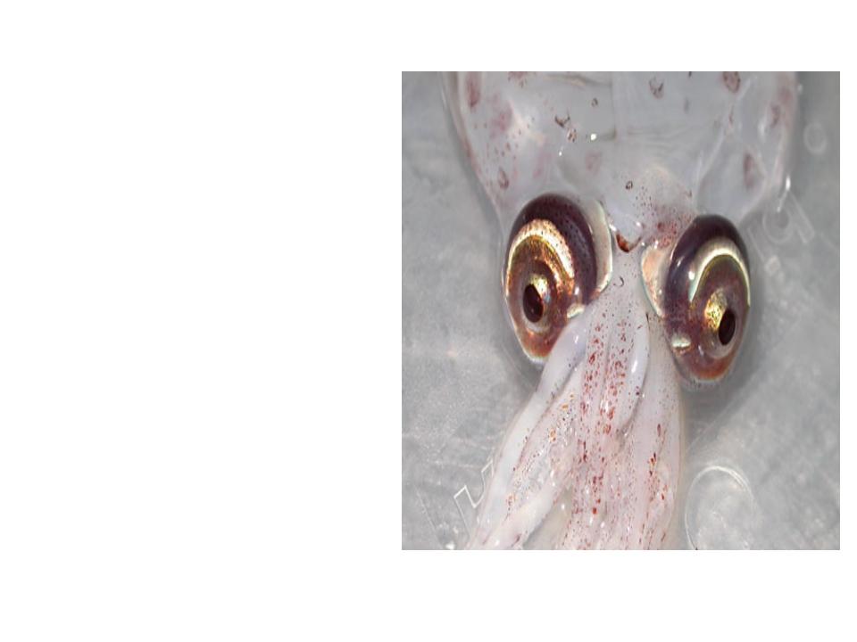 Диаметр глаза одного из глубоководных кальмаров равен 40 см. Глаз кита, для...