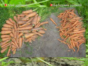 Мой урожай Бабушкин урожай