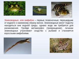Земноводные, или амфибии – первые позвоночные, перешедшие от водного к наземн