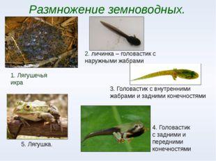 Размножение земноводных. 1. Лягушечья икра 2. личинка – головастик с наружным