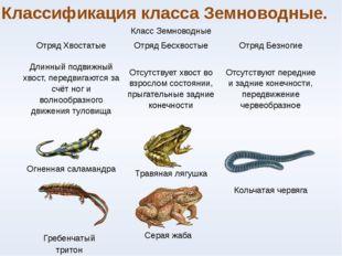 Классификация класса Земноводные. Гребенчатый тритон Серая жаба Класс Земново