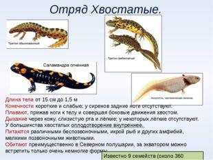Отряд Хвостатые. Длина тела от 15 см до 1,5 м Конечности короткие и слабые; у