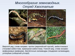 Многообразие земноводных. Отряд Хвостатые Верхний ряд, слева направо: протеи