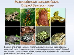 Многообразие земноводных. Отряд Безхвостные Верхний ряд, слева направо: лиопе