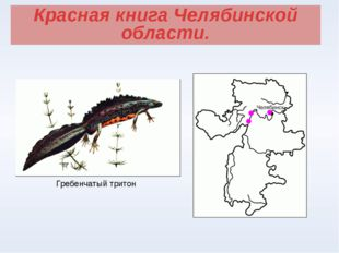 Красная книга Челябинской области. Гребенчатый тритон