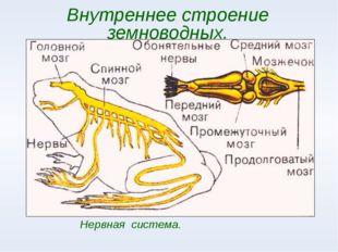 Внутреннее строение земноводных. Нервная система.