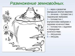 Размножение земноводных. 1 – икра и развитие зародыша внутри икринки; 2 – лич