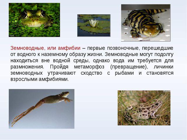 Земноводные, или амфибии – первые позвоночные, перешедшие от водного к наземн...