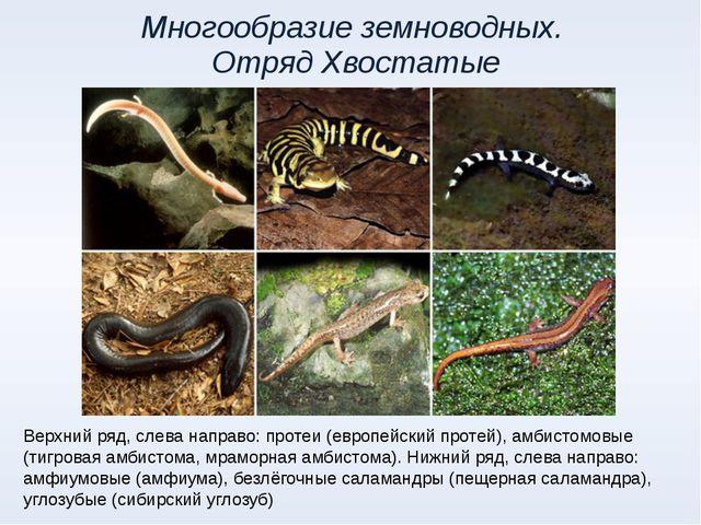 Многообразие земноводных. Отряд Хвостатые Верхний ряд, слева направо: протеи...