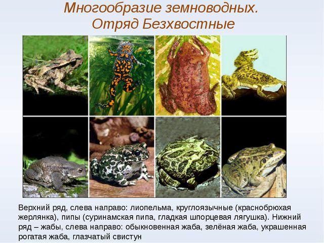 Многообразие земноводных. Отряд Безхвостные Верхний ряд, слева направо: лиопе...