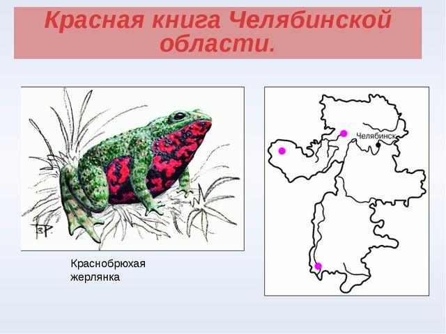Красная книга Челябинской области. Краснобрюхая жерлянка