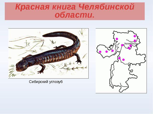 Красная книга Челябинской области. Сибирский углозуб