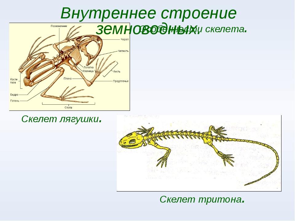 Особенности скелета. Внутреннее строение земноводных. Cкелет лягушки. Cкелет...
