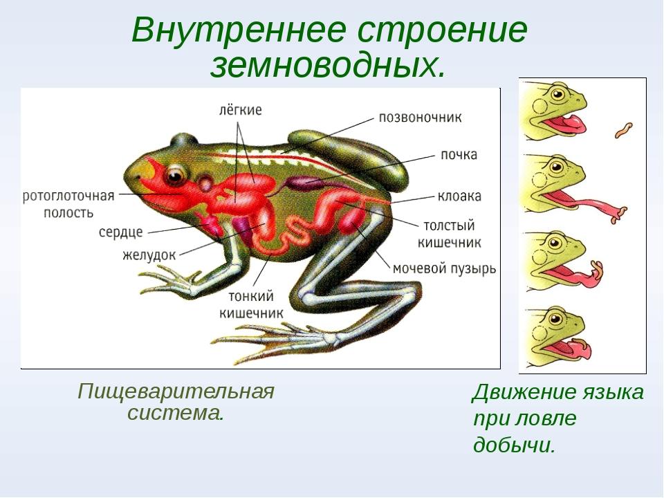 Движение языка при ловле добычи. Пищеварительная система. Внутреннее строение...