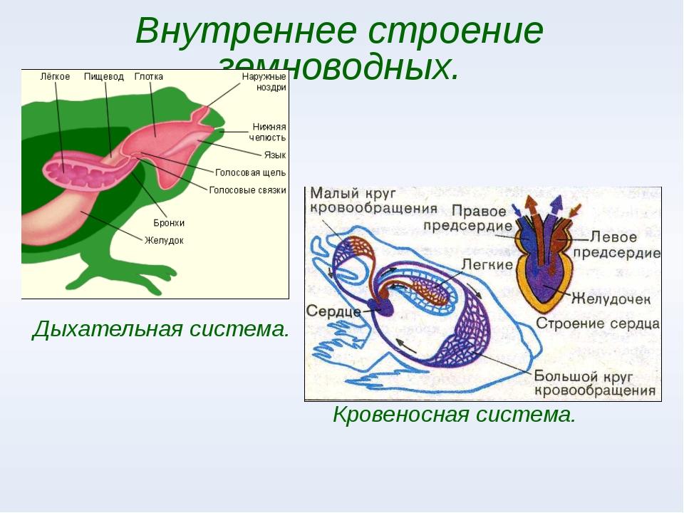 Внутреннее строение земноводных. Дыхательная система. Кровеносная система.