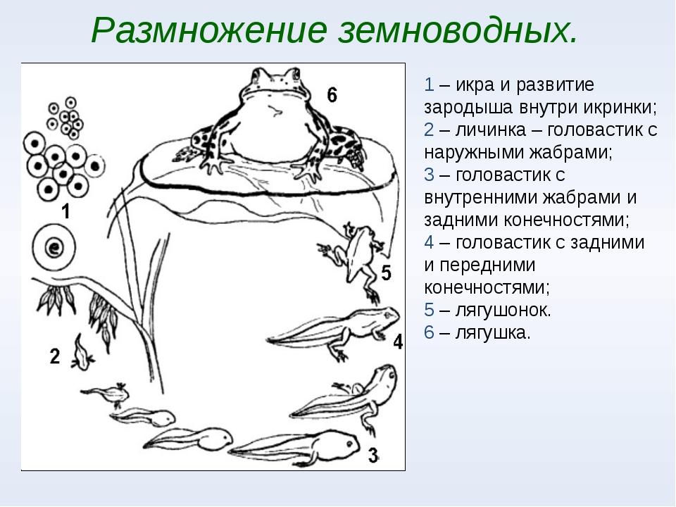 Размножение земноводных. 1 – икра и развитие зародыша внутри икринки; 2 – лич...