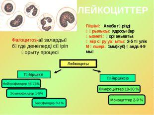 ЛЕЙКОЦИТТЕР Пішіні: Амеба тәрізді Құрылысы: ядросы бар Қызметі: қорғаныштық Ө