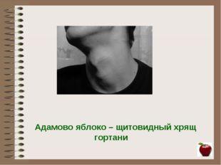 Адамово яблоко – щитовидный хрящ гортани