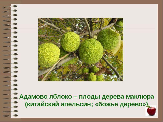 Адамово яблоко – плоды дерева маклюра (китайский апельсин; «божье дерево»)